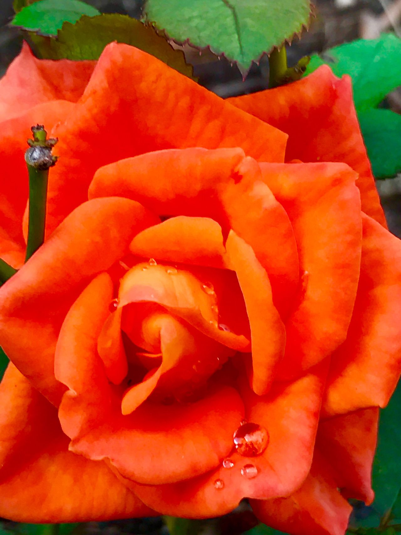 Close-up Orange Color Rose🌹 Flower Flower Head Blooming Petal Fragility Nature No People Plant Outdoors Day City Lights And Shadows Focus On Foreground Sunlight Water Droplets