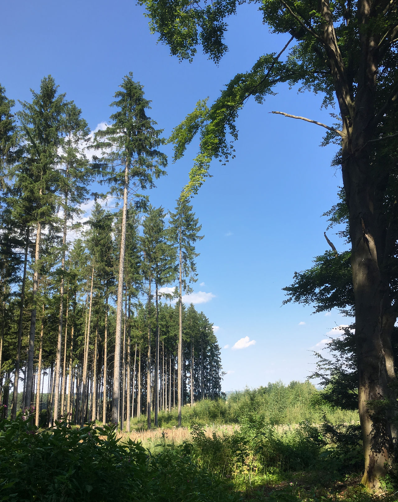 Waldaussicht Beauty In Nature Clear Sky Day Forest Grass Growth Landscape Nature No People Outdoors Pine Tree Scenics Sky Tranquil Scene Tranquility Tree Tree Trunk