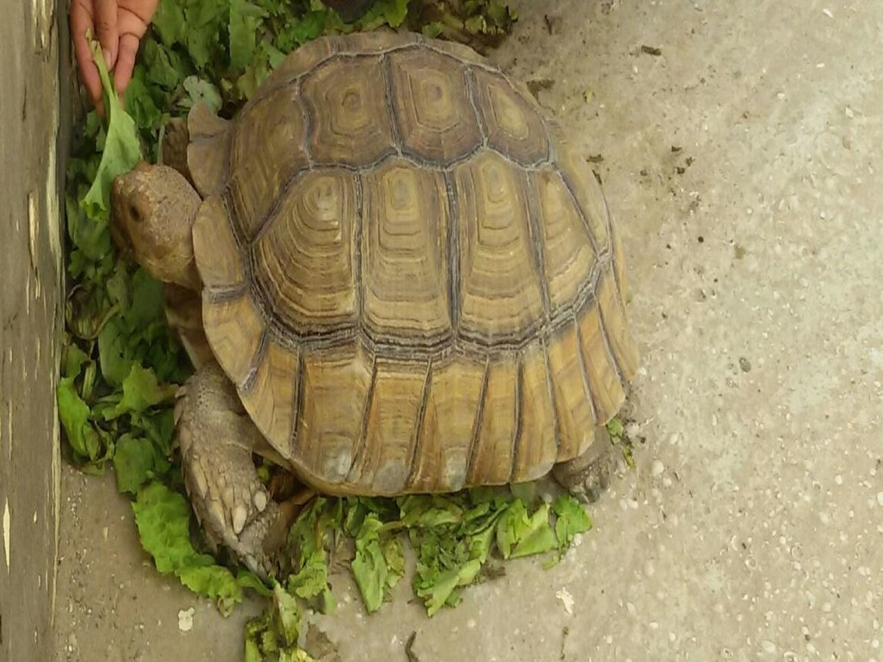 tortoise shell, reptile, tortoise, animal themes, no people, green color, pets, close-up, outdoors, day, nature