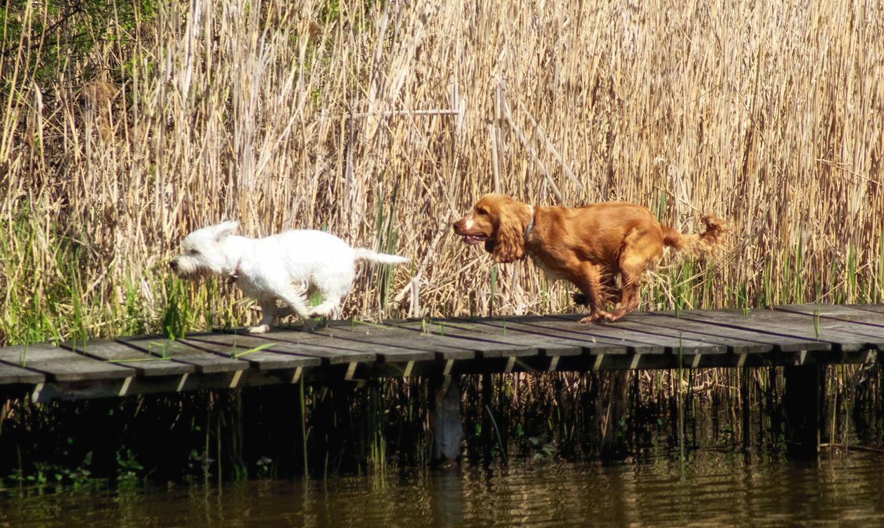 water, lake, mammal, animal themes, dog, domestic animals, waterfront, day, no people, pets, nature, outdoors, grass