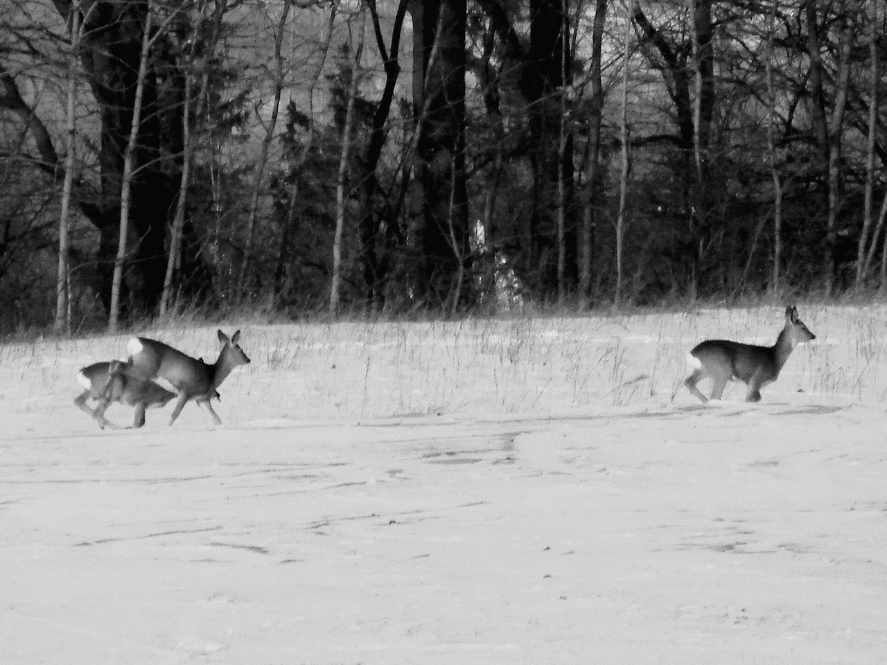 Outdoors Eyeemphoto Kodak Easyshare Polska Podkarpacie Mammals Roe Deer Mróz Sarny Kodak No People Ssaki Zwierzęta Zimno Animal Themes Black And White Blackandwhite Photography