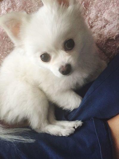 Pretty Beautiful Dog Puppy Taking Photos Pomeranian