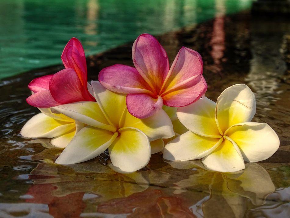 ... Frangipani Bali Bali, Indonesia Beauty In Nature Blossom Botany Flower Frangipani Pool Swimming Pool Tempelbaum Sony Dsc Hx400v