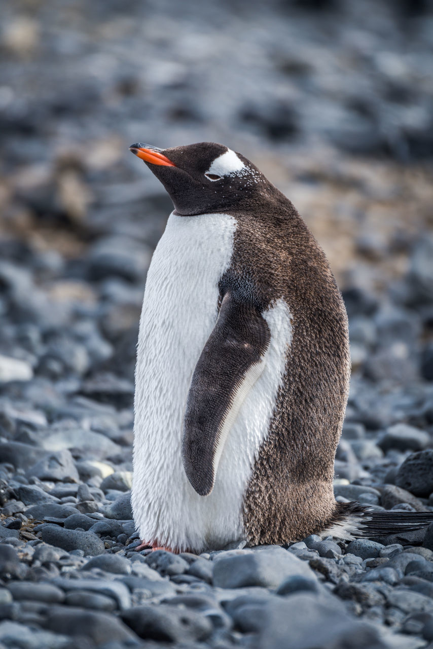 Penguin On Stones At Beach