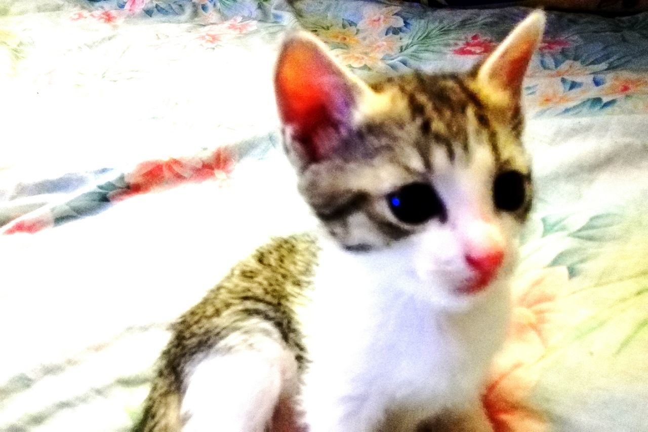Domestic Cat Pets Animal Themes Domestic Animals Looking At Camera Mammal Portrait One Animal Feline Indoors  No People Close-up Bedroom Tabby Cat Day Cats Of EyeEm @WOLFZUACHiV Veronicaionita Wolfzuachiv Romania Kitten Pufosenii Animal Cat Pufosi EyeEmNewHere Millennial Pink