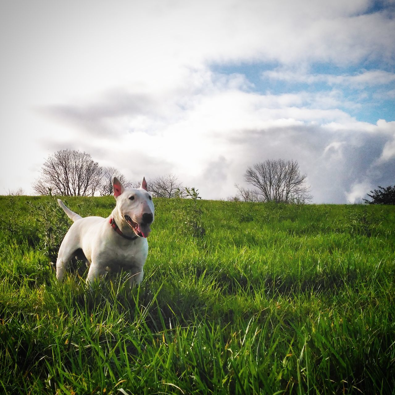 dog, grass, pets, domestic animals, one animal, animal themes, field, cloud - sky, sky, mammal, nature, growth, outdoors, green color, day, no people, tree