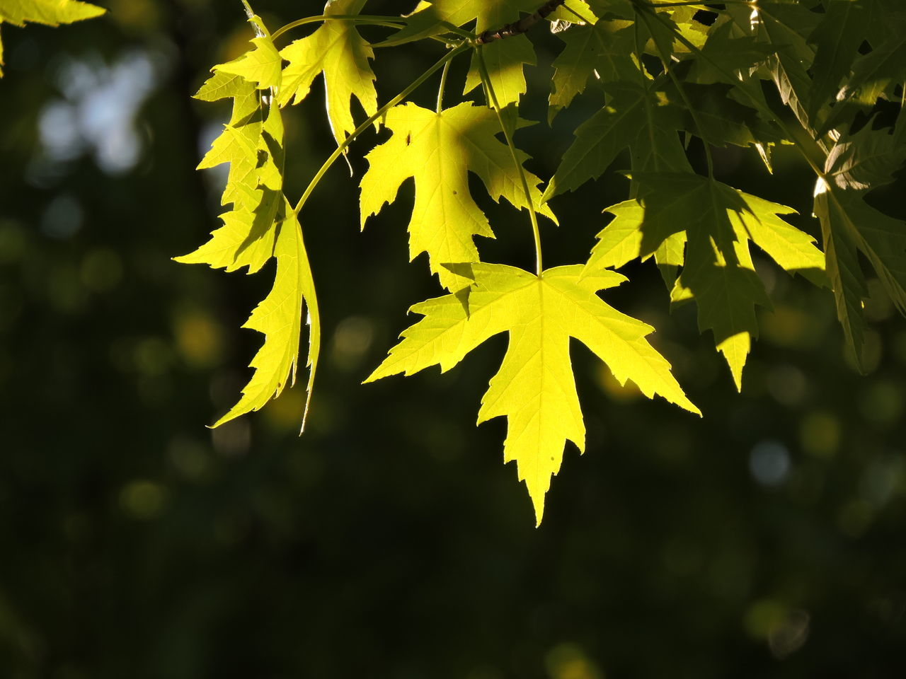 Autumn Beauty In Nature Close-up Day Focus On Foreground Growth Leaf Maple Maple Leaf Maple Leaves Nature No People Outdoors Sunlit Tree