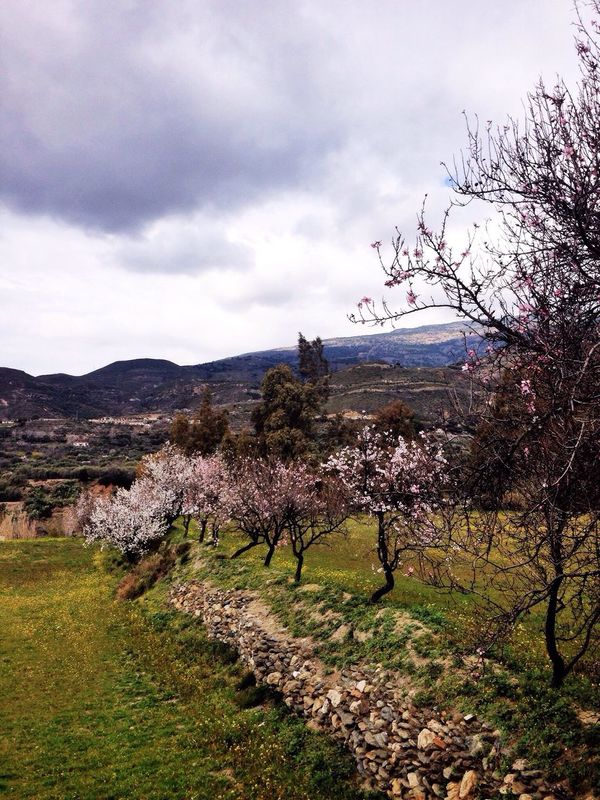 Almond blossoms above the Rio Chico