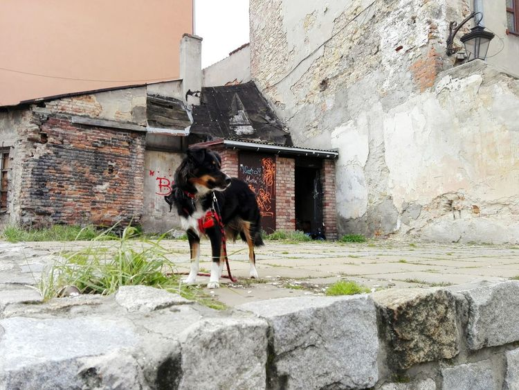 Domestic Animals Dog Border Collie Built Structure Architecture One Animal Building Exterior Mammal Bibi Animal Themes Day Outdoors No People Lublin Grass Old Buildings Old City