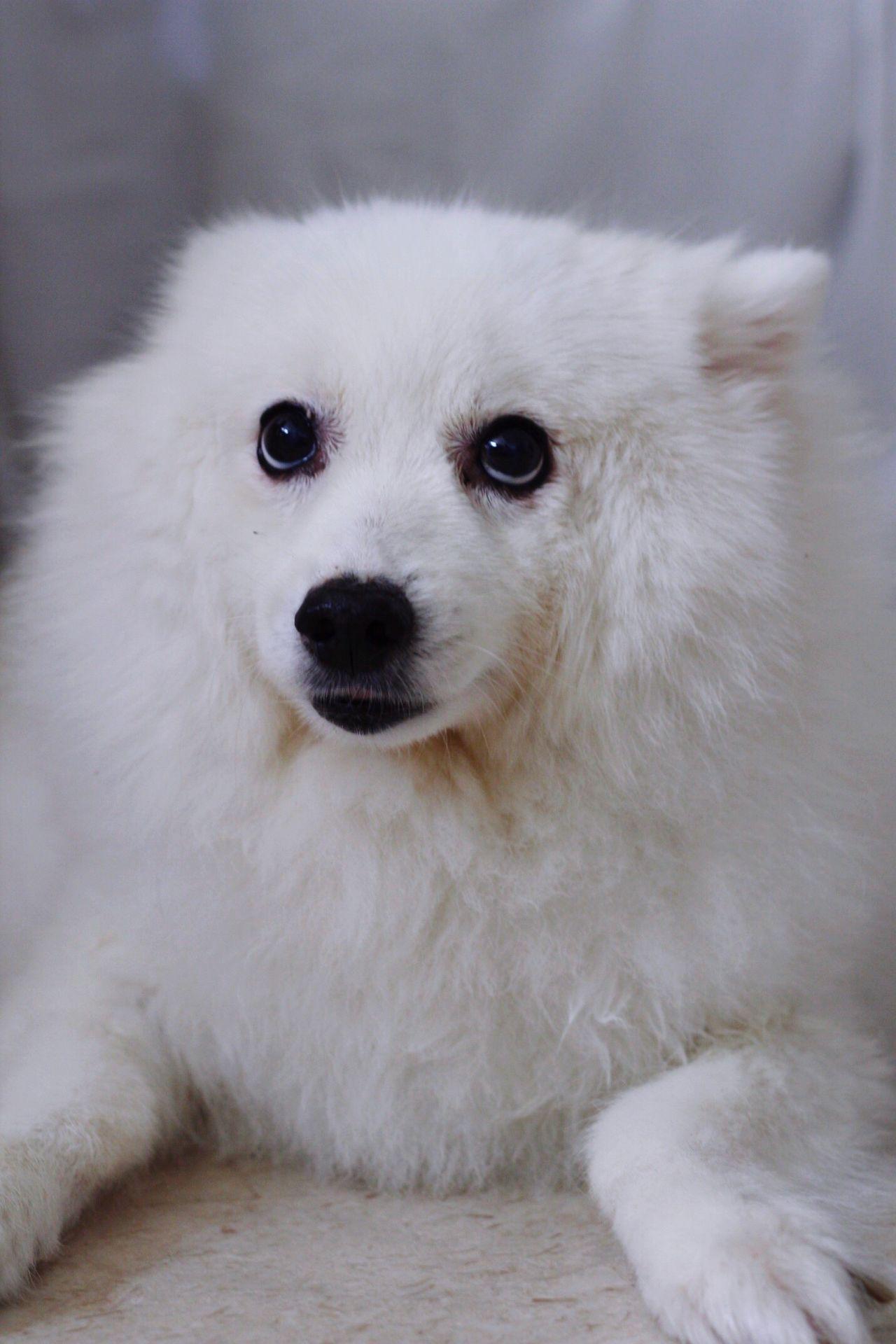 My darling Trixie sweet and mellow, making my heart sing Japanese Spitz Spitz Animal Themes One Animal Pets Portrait Domestic Animals Close-up Indoors  White Fluffy Relaxed Fur Innocent Sweet Dogs Sitting Face Lookingup Mammal No People Day Focus On Foreground Listening