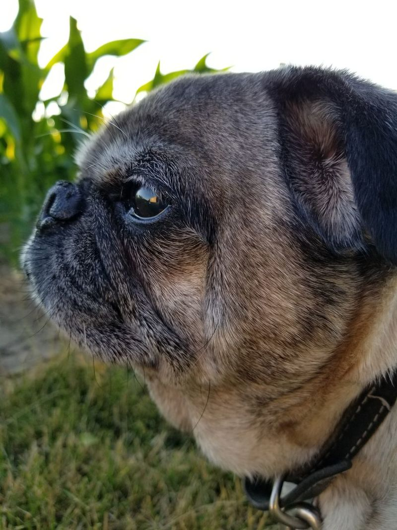 One Animal Dog Domestic Animals Animal Themes Pets Mammal Close-up Day No People Outdoors Nature Pug Love Pug Pug Life  Lost In The Landscape Perspectives On Nature Be. Ready. EyeEmNewHere