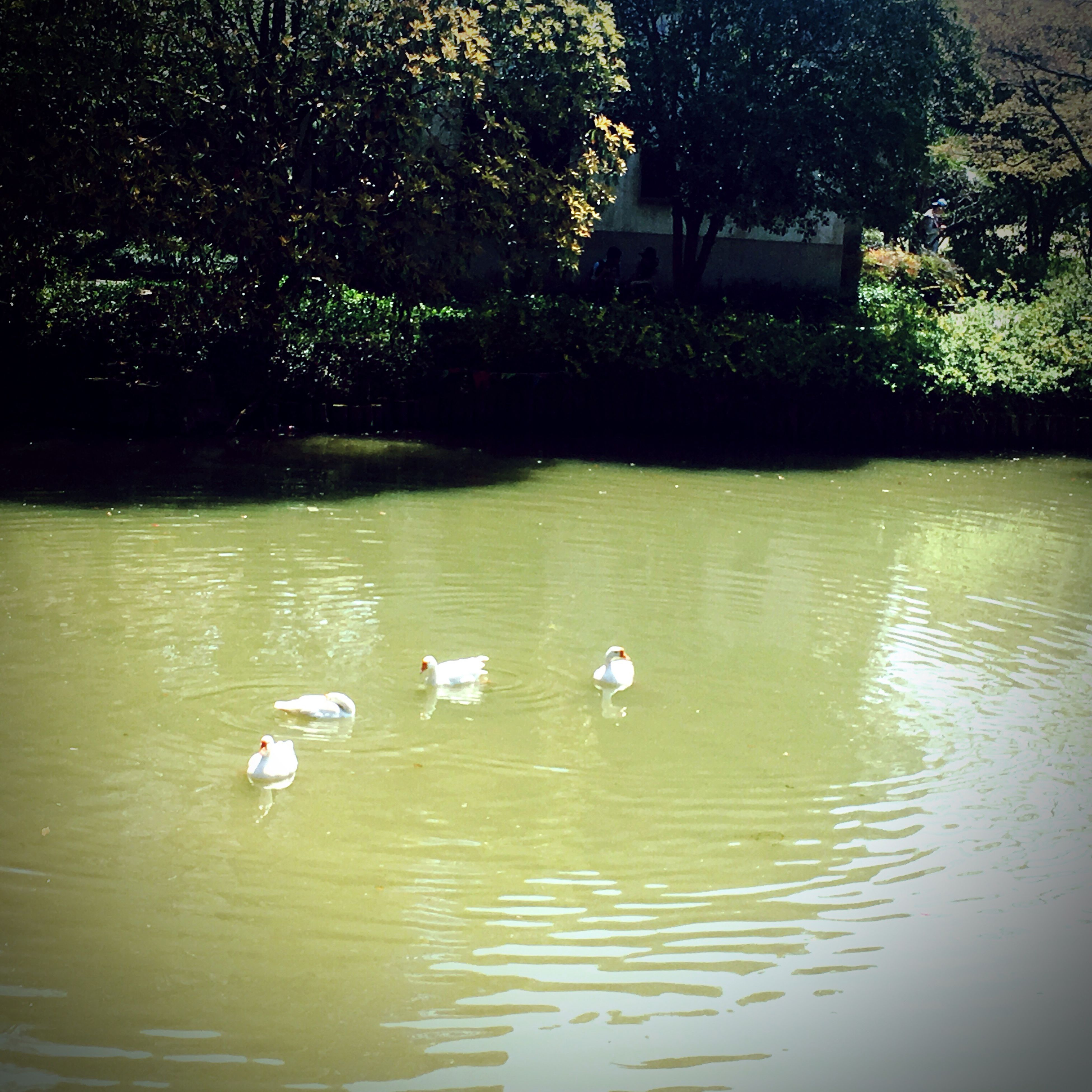 animal themes, animals in the wild, water, bird, lake, animal wildlife, nature, swan, no people, swimming, day, outdoors, tree, floating on water