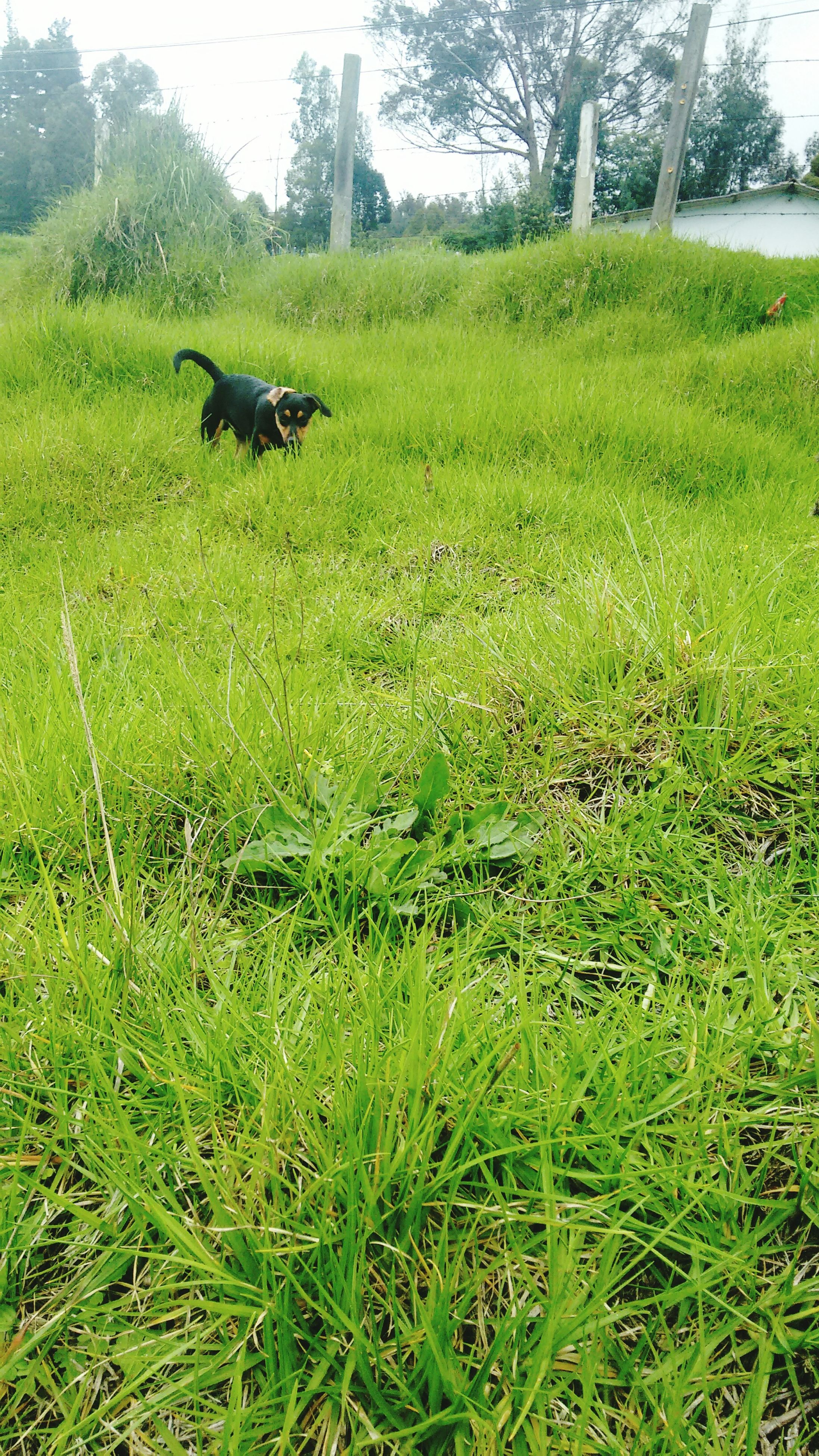animal themes, grass, mammal, green color, domestic animals, field, grassy, animals in the wild, wildlife, one animal, nature, landscape, growth, two animals, grazing, dog, pets, tree, day, beauty in nature