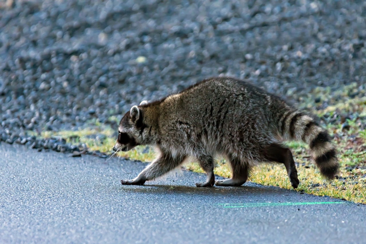 Racoon wanting to cross the road Adorable Alertness Animal Themes Animals In The Wild Curious Cute Day FUNNY ANIMALS Fur Grass Gray Mammal Nature No People One Animal Outdoors Pattern Pest Racoon Stripes Pattern Wildlife & Nature Wildlife And Nature Wildlife Photography Wildlife Photos Wildlifephotography