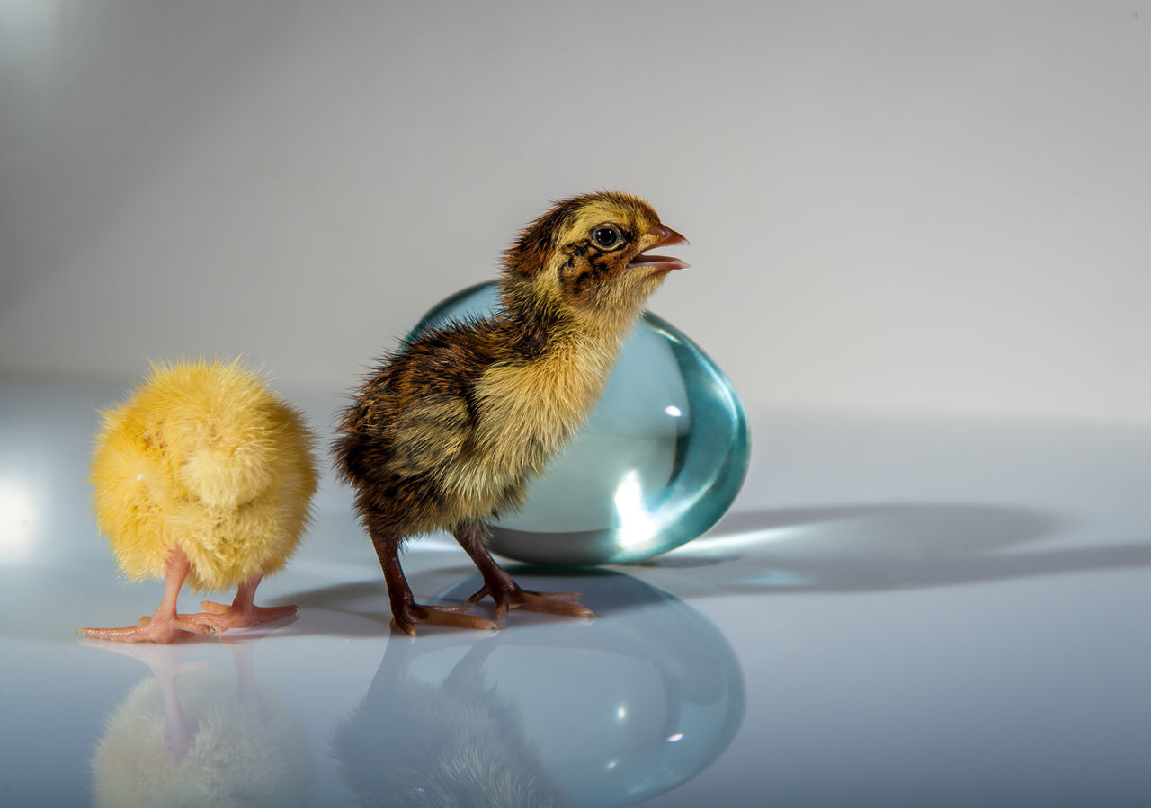 Animal Themes Bird Blue Chicken - Bird Close-up Cute Day Domestic Animals Domestic Birds Glass Egg Gray Background Indoors  Lovely Nature No People Quail Studio Shot Yellow Young Animal Young Bird Young Quail
