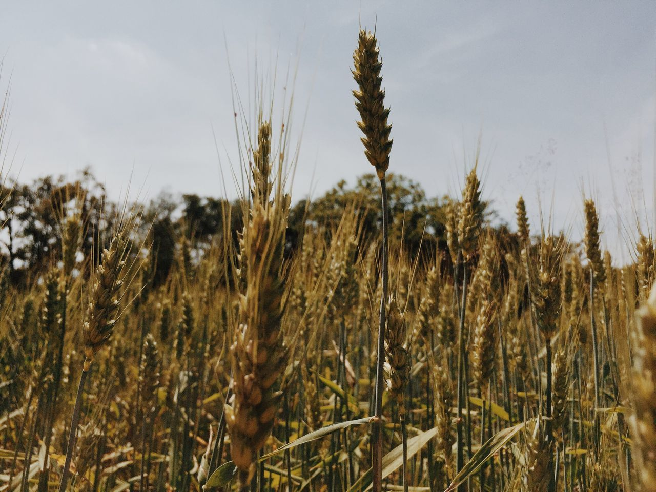 growth, nature, plant, field, agriculture, crop, cereal plant, wheat, farm, tranquility, tranquil scene, ear of wheat, no people, close-up, day, outdoors, beauty in nature, rural scene, landscape, sky