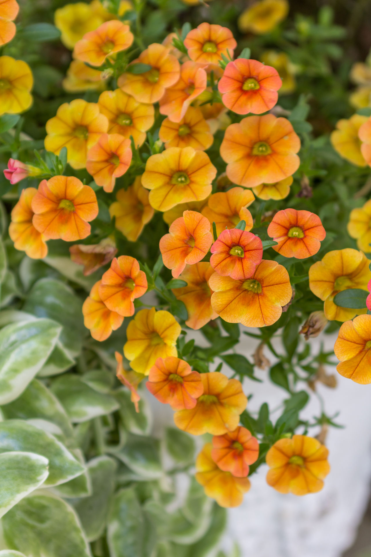 Vased pansies Bright And Cheery Close-up Colorful Nature Fresh Orange And Yellow Orange And Yellow Flower Pansies Potted Flowers White Vase Container Gardening Container Plants