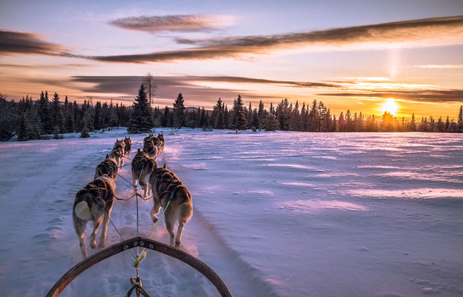 Sledge Dog Sleddog Cold Winter ❄⛄ Musher Sled Dog Winter Mush Camp Dog Dog Sled Adventure Husky Sunset Wintertime Dog Sledding Winterwonderland Winter Wonderland Dogs Cold Temperature Animal Themes Snow Mush Dog Snow ❄ Clouds And Sky Showcase: January Eyem Nature Lovers