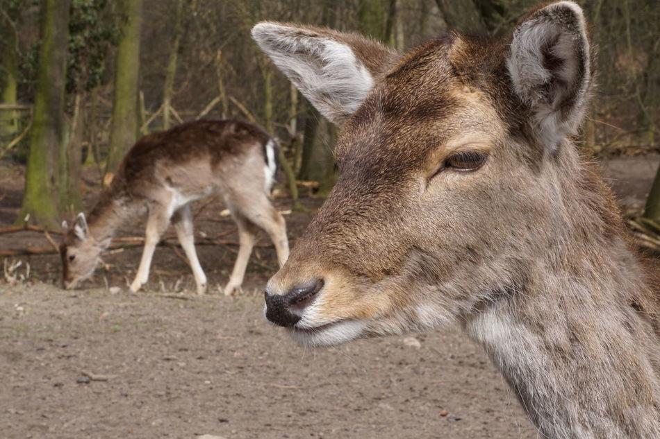 Beautiful stock photos of hirsch, animal themes, one animal, mammal, full length