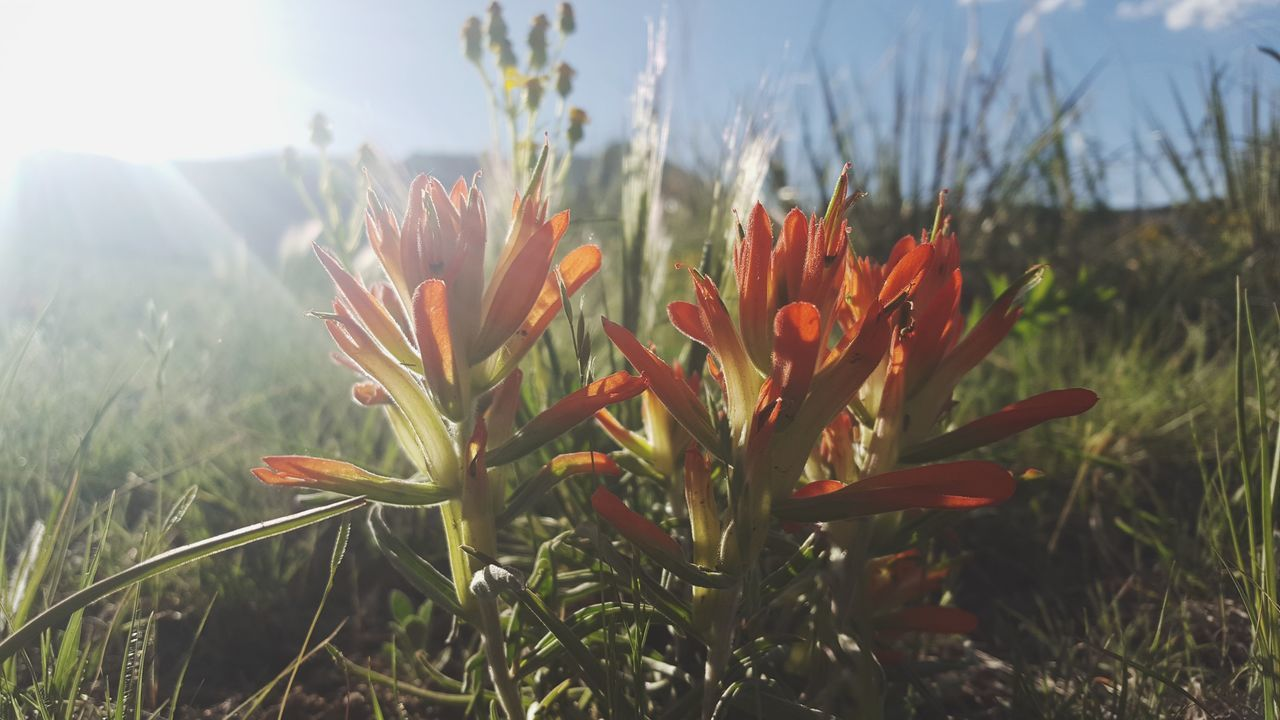 Growth Nature Plant Field Outdoors Sunlight Flower Beauty In Nature No People Close-up Day Freshness The Great Outdoors - 2017 EyeEm Awards Colorado Colorado Photography TheGreatOutdoors Indian Paintbrush Greettheoutdoors Wildflower Plant Adventure Nature Outside Wander ExploreEverything
