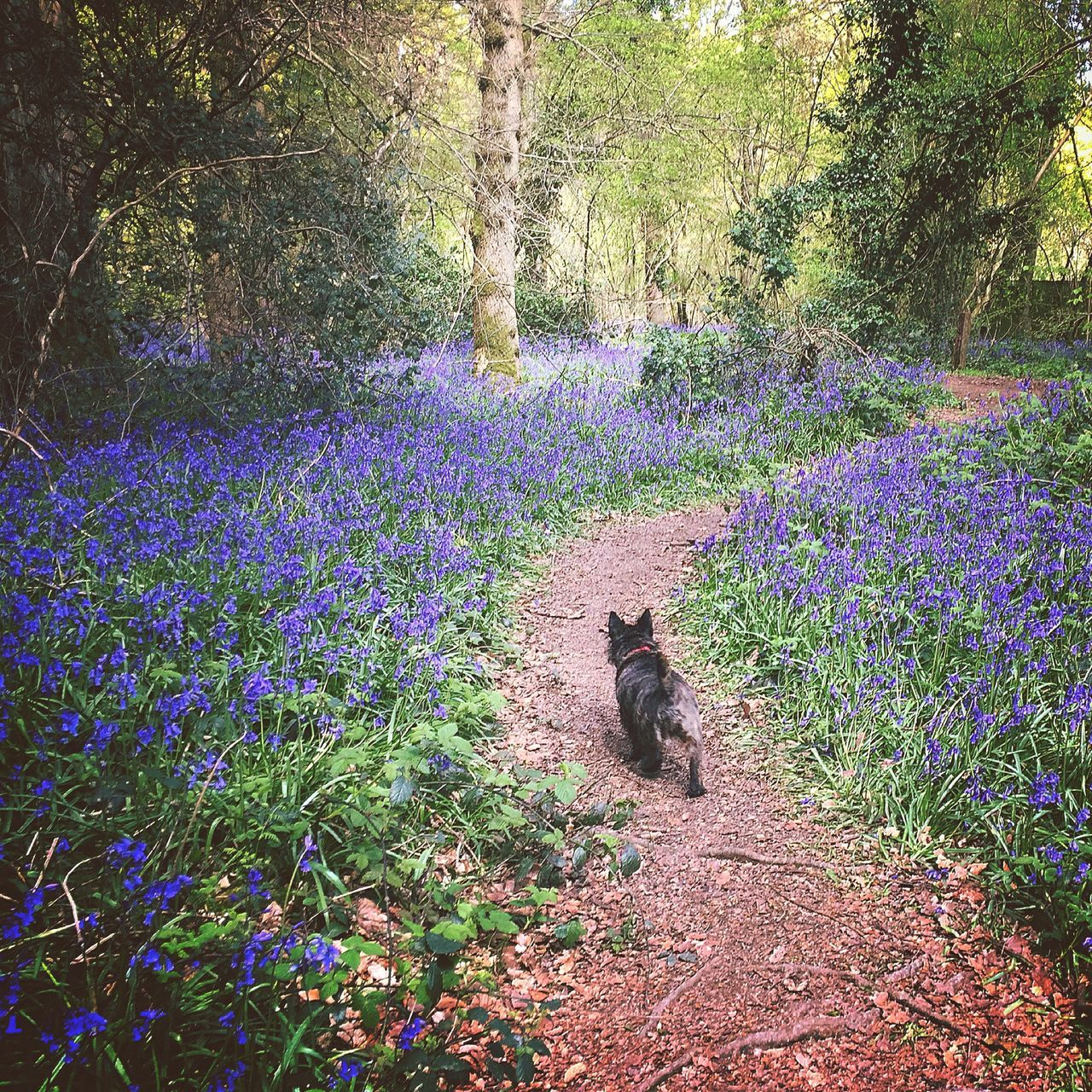 Purple Nature Animal Themes Growth Beauty In Nature Flower Plant One Animal Outdoors Mammal Tree No People Day Field Freshness Woods Forrest Bluebells Spring Bluebell Wood Dog Walk Flowers Springtime Spring Flowers