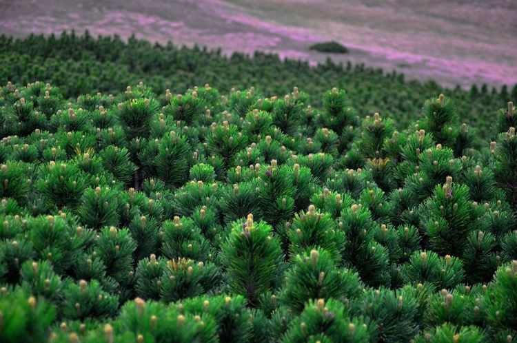 Landscape_Collection Naturephotography Rhododendron Pinus Mugo