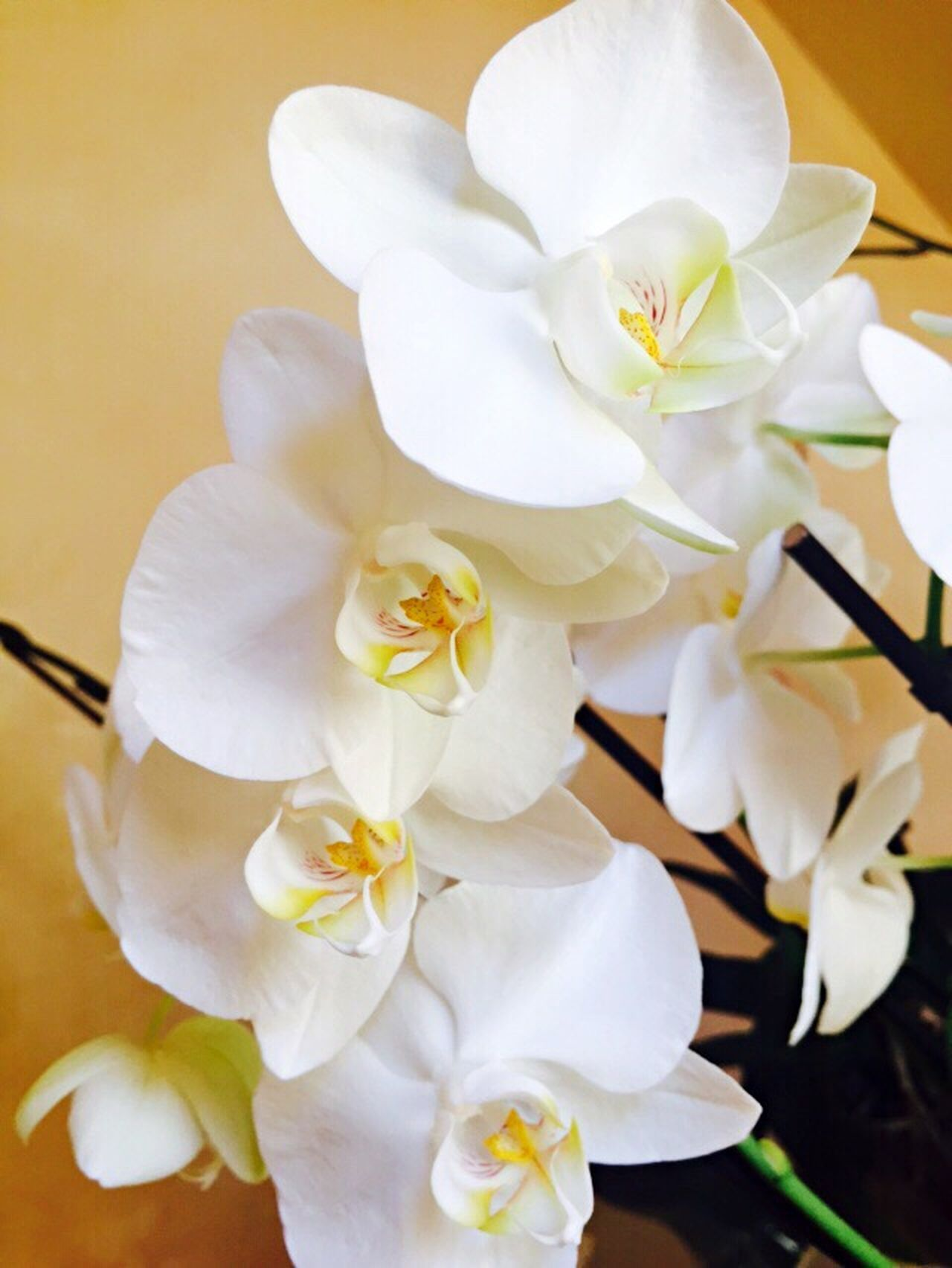 Flower Fragility Growth Nature White Color Petal Close-up Beauty In Nature Flower Head No People Freshness Plant Day Outdoors Colour Of Life Orchids Emyembest Orchidslover Orchid Flowers Orchids Collection Orchid Blossoms Orchid Flower Orchids