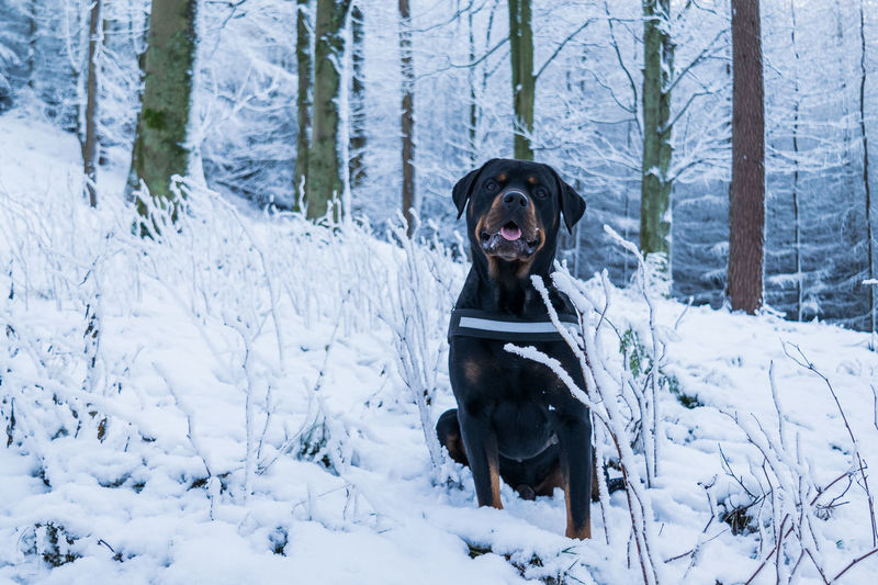 Big Blade Love Snow ❄ Winter Animal Themes Beauty In Nature Cold Temperature Day Dog Domestic Animals Field Forest Loyalty Mammal Mansbestfriend Nature No People One Animal Outdoors Pets Rottweiler Snow Snow Covered Winter