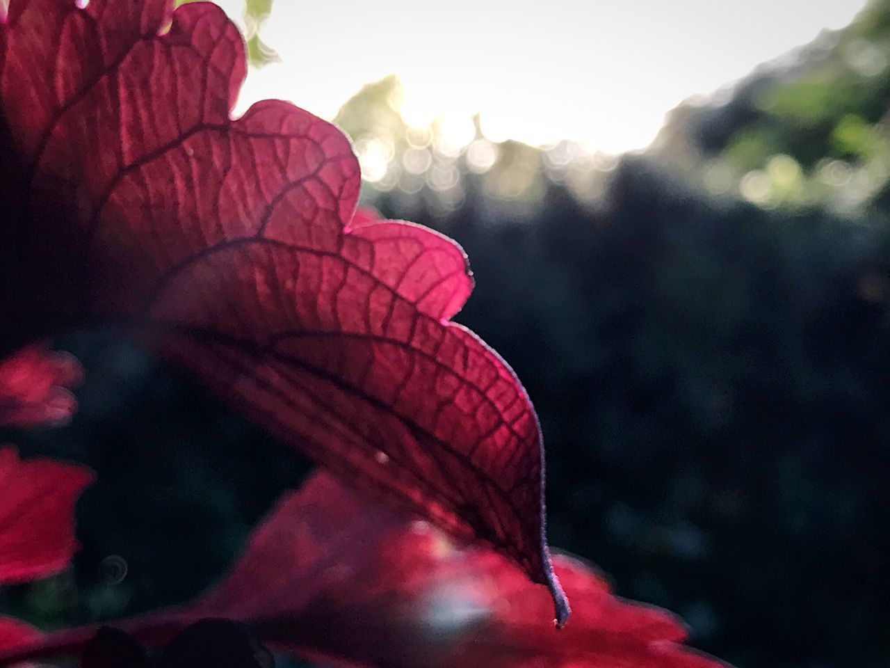 red, nature, beauty in nature, flower, fragility, petal, close-up, leaf, outdoors, growth, flower head, day, plant, no people, focus on foreground, pink color, freshness, bougainvillea, hibiscus, water