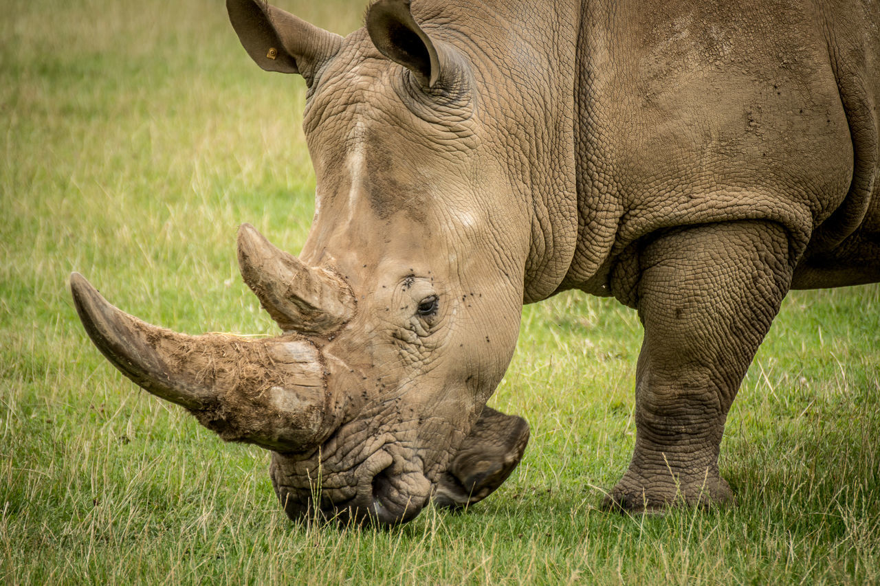 grass, animals in the wild, one animal, animal themes, animal wildlife, horned, mammal, no people, nature, grazing, outdoors, day, rhinoceros, safari animals, close-up