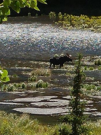 Beauty In Nature Zoology Tranquil Scene Nature Moose Pond Outdoors Colorado Photography