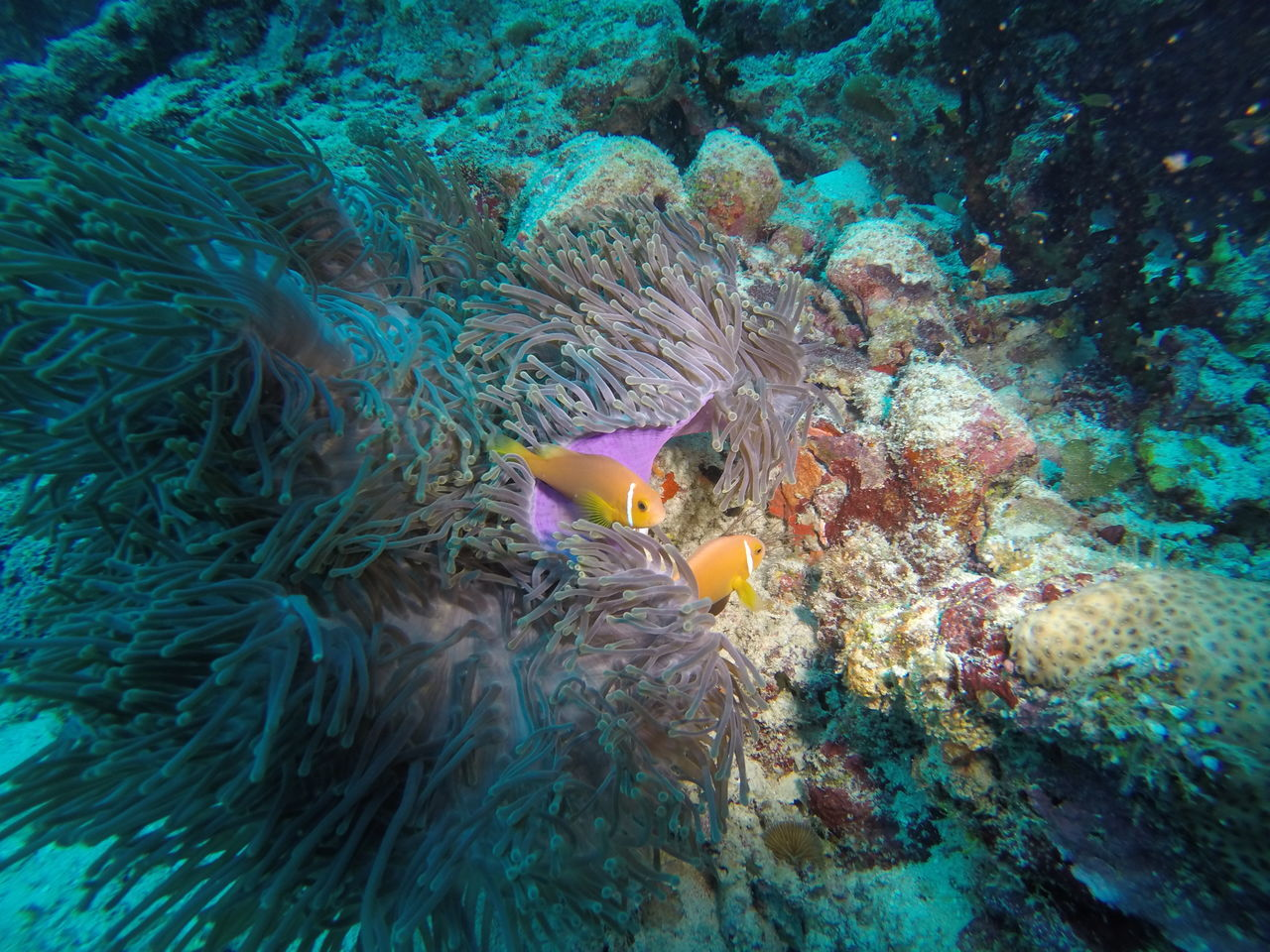 Anemone or Clown fishes with their home anemone on a reef in the southern part of the Maldives Adventure Anemone Atoll Clownfish Diving Egypt Fish Fishing Maldives Maldives Islands Nature Nature Lover Nature Photography Naturelovers Ocean Red Sea Reef SCUBA Scuba Diving Sea Life Softcoral UnderSea Underwater Underwater Photography