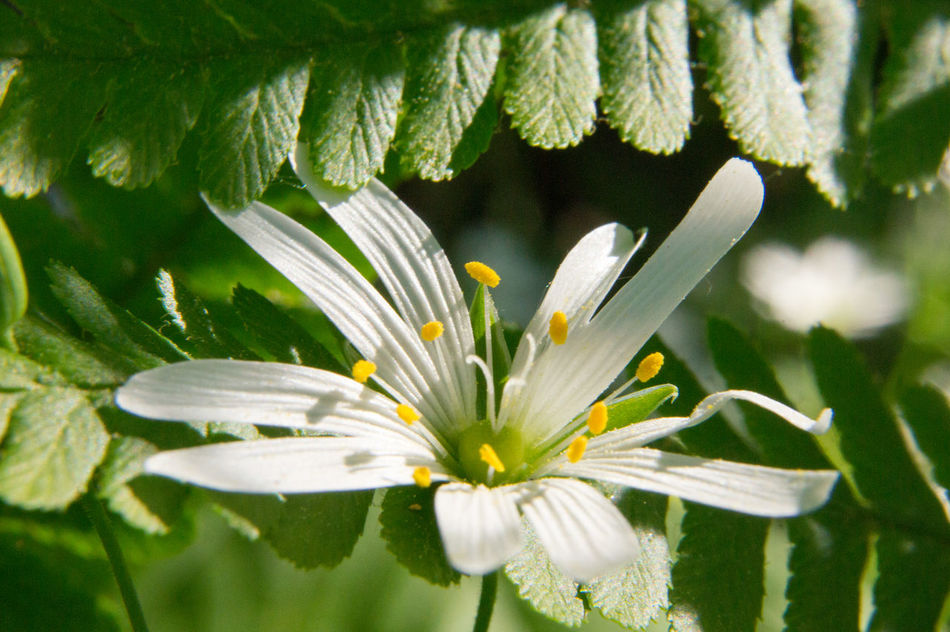 Beauty In Nature Blooming Blossom Botany Close-up Colour Of Life Day Flower Flower Head Focus On Foreground Fragility Freshness Green Color Growth In Bloom Leaf Nature No People Outdoors Petal Plant Pollen Stamen Stem White Color