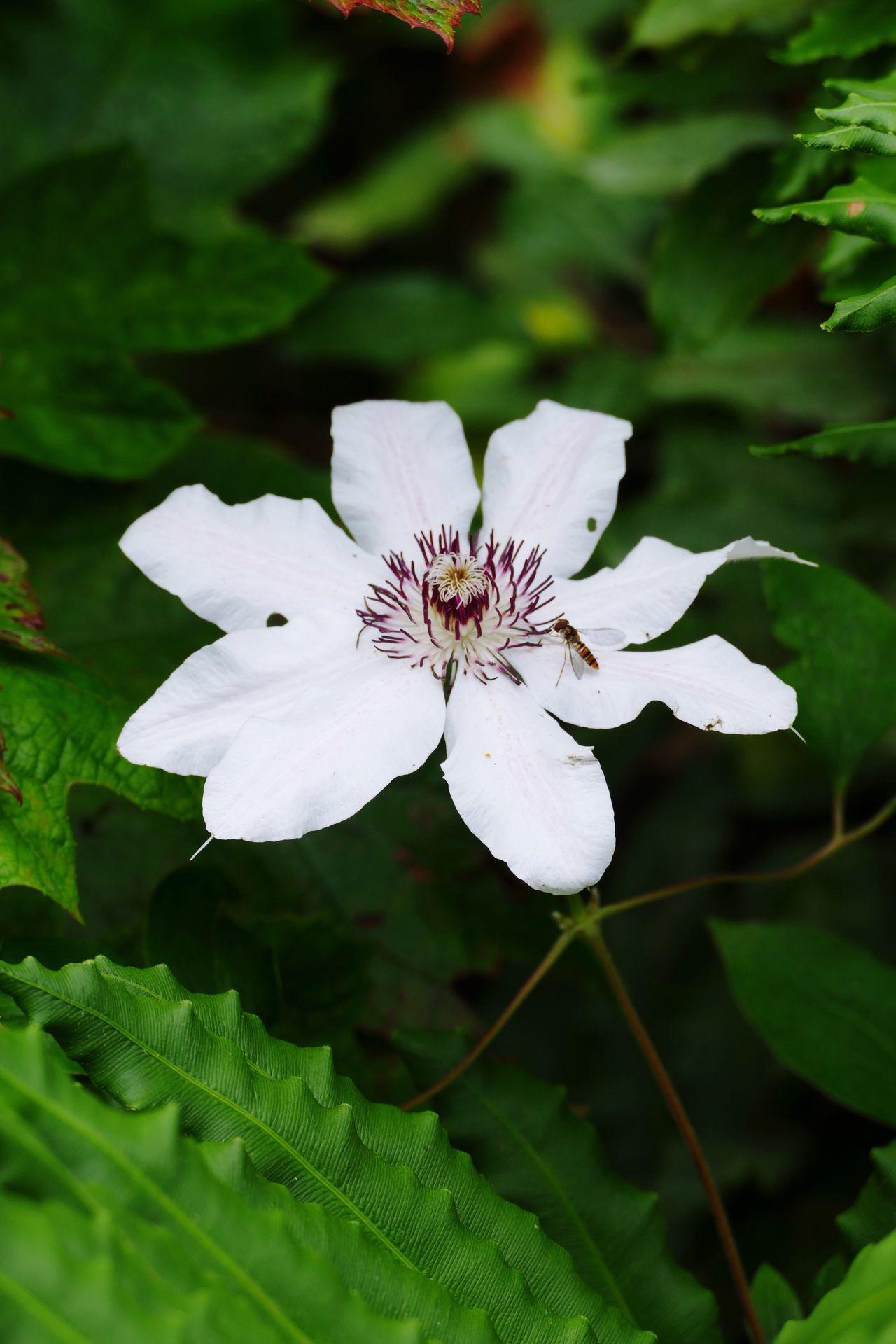 Flowers,Plants & Garden Clematis Flower Clematis Flower Beauty In Nature Single Flower Beauty In Nature Nature's Diversities Flowers, Nature And Beauty Natures Diversities Nature On Your Doorstep Single Flower White White Flower