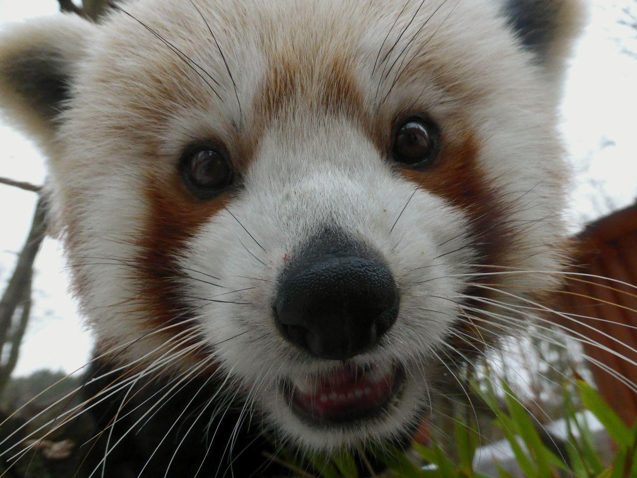 Animals One Animal Looking At Camera Close-up Animal Photography Animal Portrait Zoophotography Panda Red Panda Animal Head