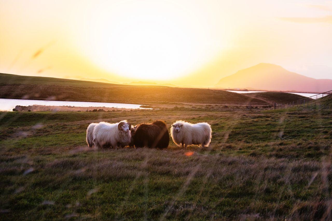 風吹草低現🐂🐑 Domestic Animals Sunset Nature No People Beauty In Nature Eyeemphotography Fujifilm EyeEm FUJIFILM X-T10 Landscape Ontheroad Traveling Iceland