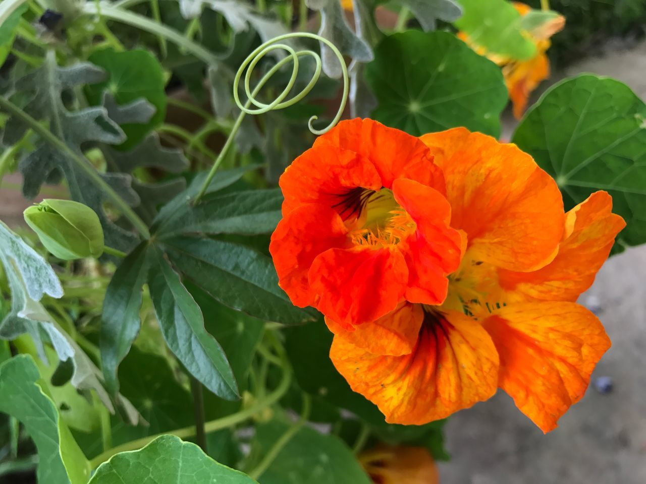 Swirly Flower Growth Plant Beauty In Nature Petal Nature Leaf Fragility Flower Head Orange Color Blooming Freshness Outdoors Close-up Green Color No People Day Tendril Orange Nasturtium Swirl