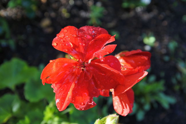 Close-up Droplet Flower Flower Head Focus On Foreground Fragility Freshness Petal Red Selective Focus