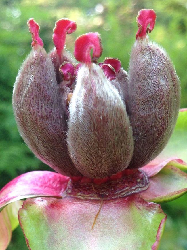 Nature On Your Doorstep Flowers Peony  EyeEm Nature Lover Eye4photography  EyeEm Best Shots Gräsö Sweden