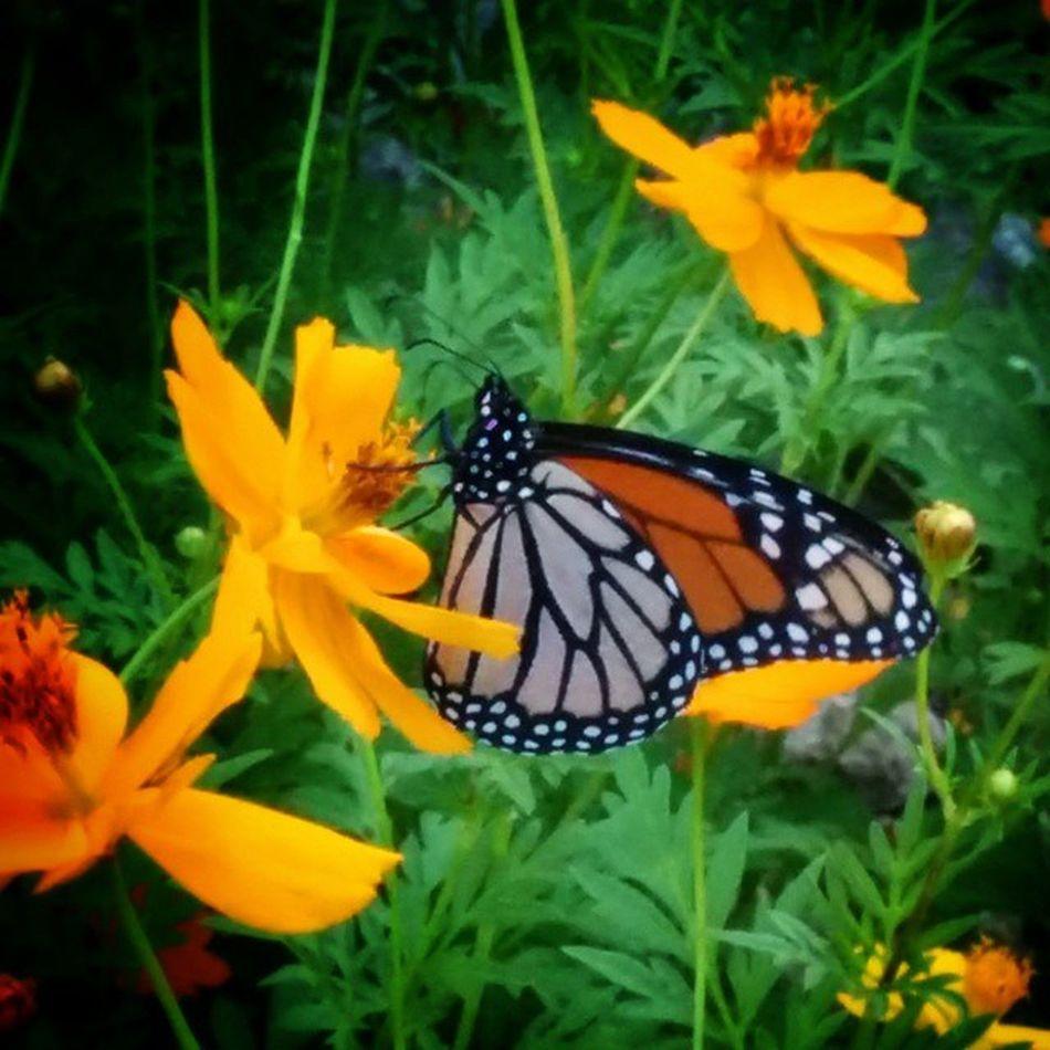 Monarch in MyBackGarden Fb